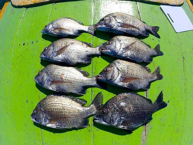 タイ湾 ナンヨウチヌ 釣果