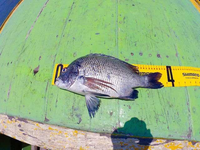 タイランド チヌ 釣り 良型